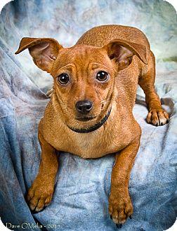 Dachshund/Miniature Pinscher Mix Dog for adoption in Anna, Illinois - LILY