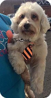 Havanese Dog for adoption in Pittsburgh, Pennsylvania - Damon