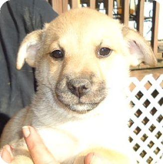 Miniature Pinscher/Pug Mix Puppy for adoption in Staunton, Virginia - Gaven