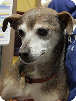 Chihuahua Mix Dog for adoption in The Dalles, Oregon - Choco