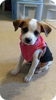 Papillon/Spaniel (Unknown Type) Mix Puppy for adoption in Scottsdale, Arizona - Courage