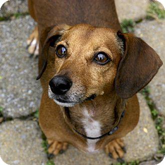 Dachshund Dog for adoption in Rockville, Maryland - LJ-AKA Marlena-ADOPTION PENDING!!!