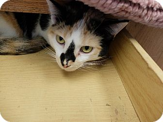 Calico Cat for adoption in Martinsville, Indiana - Capri
