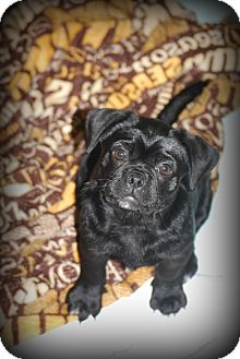 Pug/Boston Terrier Mix Puppy for adoption in Jennings, Oklahoma - Willa