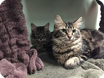 Domestic Longhair Cat for adoption in Livonia, Michigan - Liesel and Gretl, purrfect pai