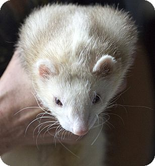 Ferret for adoption in Brandy Station, Virginia - MONG