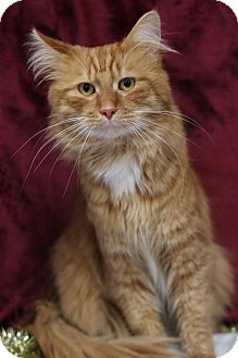 Domestic Longhair Cat for adoption in Midland, Michigan - Big Red -$25