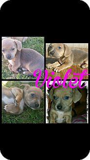 Beagle Mix Puppy for adoption in Mesa, Arizona - VIOLET