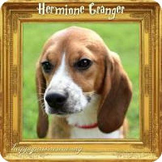 Beagle Dog for adoption in South Plainfield, New Jersey - Hermione Granger