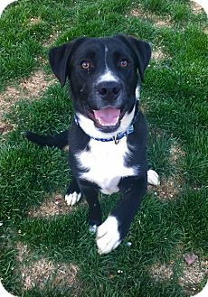 Border Collie/Labrador Retriever Mix Dog for adoption in Cheyenne, Wyoming - Milo