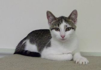 Domestic Shorthair/Domestic Shorthair Mix Cat for adoption in Marshalltown, Iowa - Erin