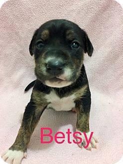 American Pit Bull Terrier Mix Puppy for adoption in Moyock, North Carolina - Betsy