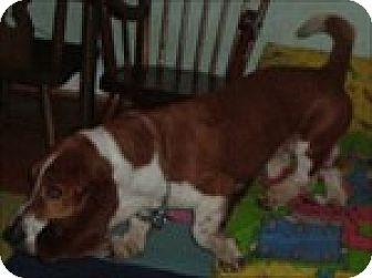 Basset Hound Dog for adoption in Charleston, South Carolina - Flounder