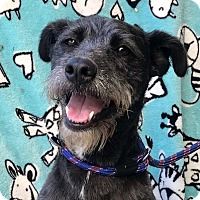 Terrier (Unknown Type, Medium) Mix Dog for adoption in Irvine, California - IZZY