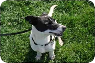 Dachshund/Jack Russell Terrier Mix Dog for adoption in Racine, Wisconsin - Harlon