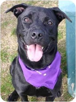 Labrador Retriever/American Pit Bull Terrier Mix Dog for adoption in Auburn, California - Randy