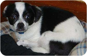 Chihuahua/Terrier (Unknown Type, Small) Mix Dog for adoption in Mt. Vernon, Illinois - Budweiser