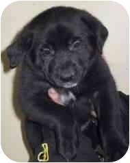 Border Collie/Labrador Retriever Mix Puppy for adoption in Minerva, Ohio - Blue Collar Puppy