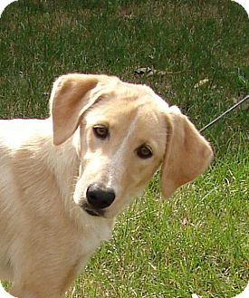 Collie/Golden Retriever Mix Dog for adoption in South Haven, Michigan - Lily