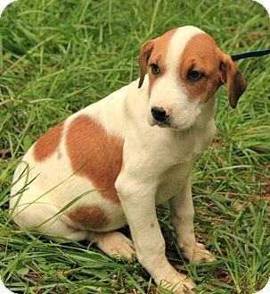 St. Bernard/Hound (Unknown Type) Mix Puppy for adoption in Windham, New Hampshire - Lambchop (In New England)