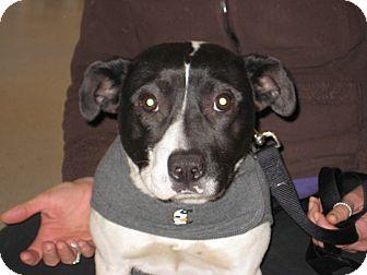 American Pit Bull Terrier/Labrador Retriever Mix Dog for adoption in Pinehurst, North Carolina - Ziggy