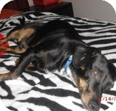 Dachshund Mix Dog for adoption in justin, Texas - Romeo