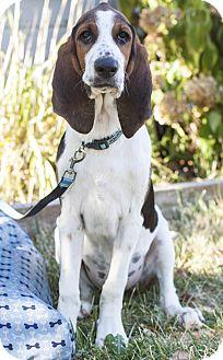 Treeing Walker Coonhound/Coonhound Mix Puppy for adoption in Auburn, California - Roger
