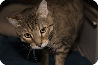 Domestic Shorthair Cat for adoption in Lombard, Illinois - Swisher