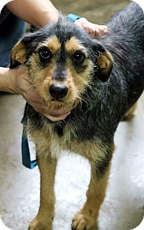 Airedale Terrier/Terrier (Unknown Type, Medium) Mix Dog for adoption in Plainfield, Illinois - Taylor