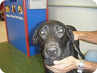 Labrador Retriever/Border Collie Mix Dog for adoption in Mansfield, Texas - Denny