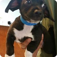 Adopt A Pet :: Carson - little wirey cutie - Phoenix, AZ