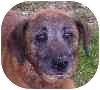 Shepherd (Unknown Type) Mix Dog for adoption in Eatontown, New Jersey - Willy