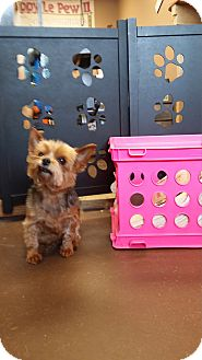 Yorkie, Yorkshire Terrier Dog for adoption in Allentown, Pennsylvania - Chloe (DC)