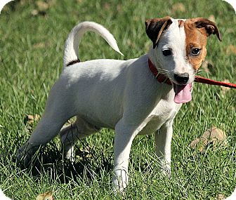 Rat Terrier Mix Puppy for adoption in Hagerstown, Maryland - Leland