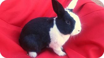 Dutch Mix for adoption in Los Angeles, California - Little Puppet