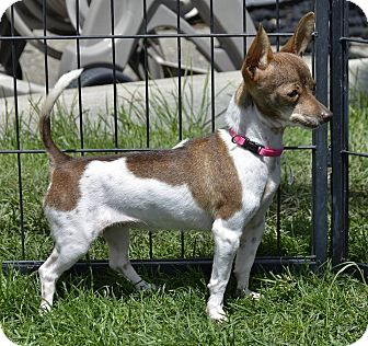 Chihuahua Mix Dog for adoption in Meridian, Idaho - Rissi