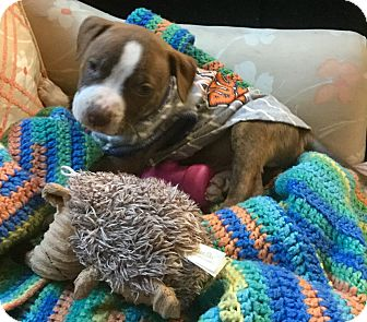 Staffordshire Bull Terrier/Pit Bull Terrier Mix Puppy for adoption in Phoenix, Arizona - Dallas Cowboys