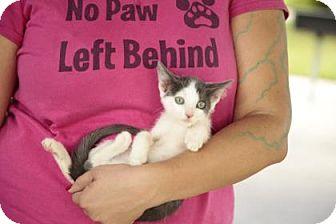 Calico Kitten for adoption in Davie, Florida - Silvermist
