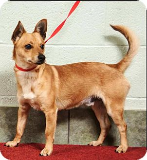Basenji Mix Dog for adoption in Ada, Oklahoma - SLICK