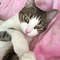 Domestic Shorthair Cat for adoption in Van Nuys, California - CUTSIE