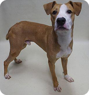 Pit Bull Terrier/Labrador Retriever Mix Dog for adoption in Savannah, Georgia - Buddy