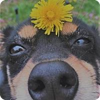 Adopt A Pet :: Delta - Champaign, IL