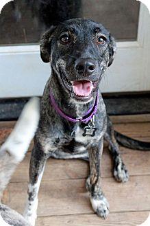 Plott Hound/Labrador Retriever Mix Puppy for adoption in Youngsville, North Carolina - Oreo