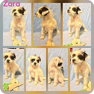 Schnauzer (Standard)/Terrier (Unknown Type, Medium) Mix Puppy for adoption in Mesa, Arizona - Zara