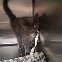 Adopt A Pet :: Puff - Indianapolis, IN