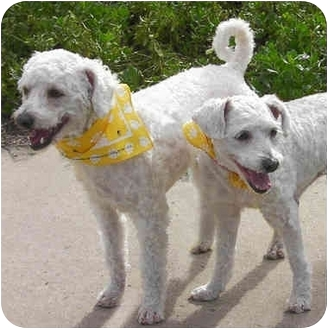 Bichon Frise Mix Dog for adoption in La Costa, California - Lucy & Charlie Brown