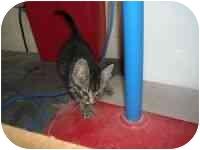 Domestic Mediumhair Kitten for adoption in Bowie, Texas - Cassie