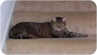 Domestic Shorthair Cat for adoption in Houston, Texas - Julie