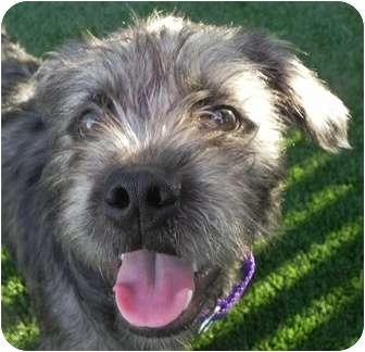 Cairn Terrier Mix Dog for adoption in Sacramento, California - Cory