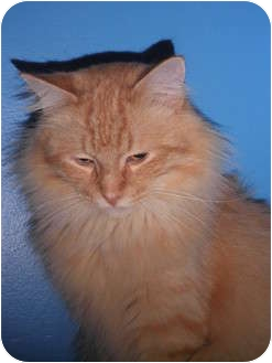 Maine Coon Cat for adoption in Warren, Michigan - Barry